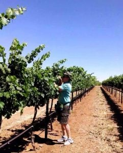"""Taming"" the Petite Sirah vines..."